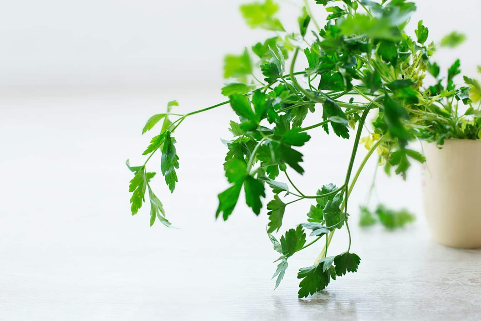 parsley plant growing on a windowsill in a white pot