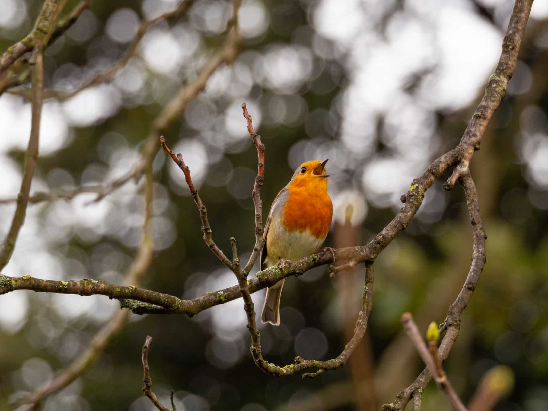 robin in a tree singing