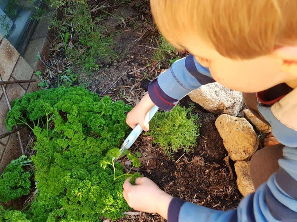 boy in garden snipping fresh parsley from the plant
