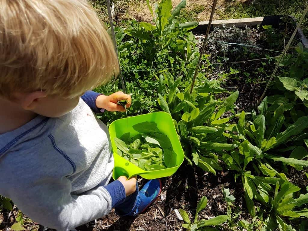 child in garden picking food he has grown himself