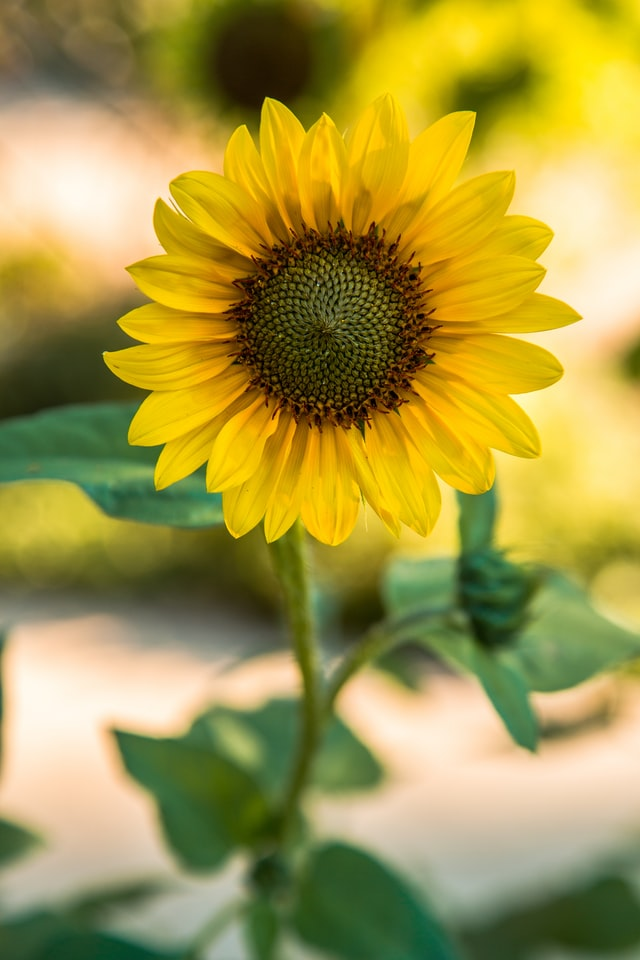 yellow sunflower gardening with children