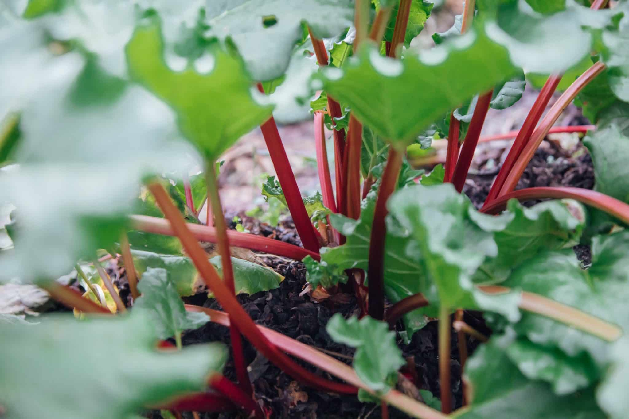 Sticks of rhubarb growing in the ground