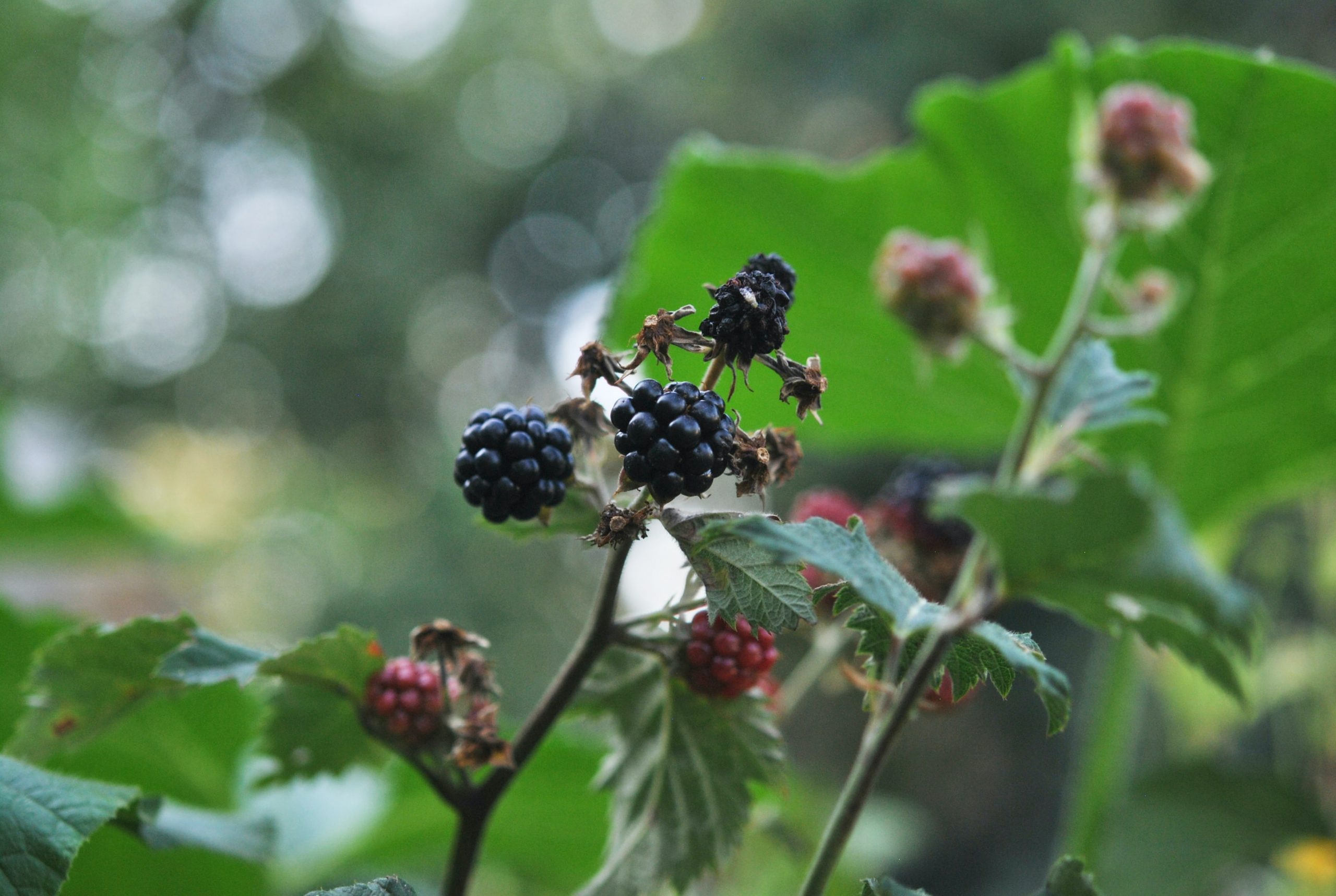 blackberries - in season in the uk in August