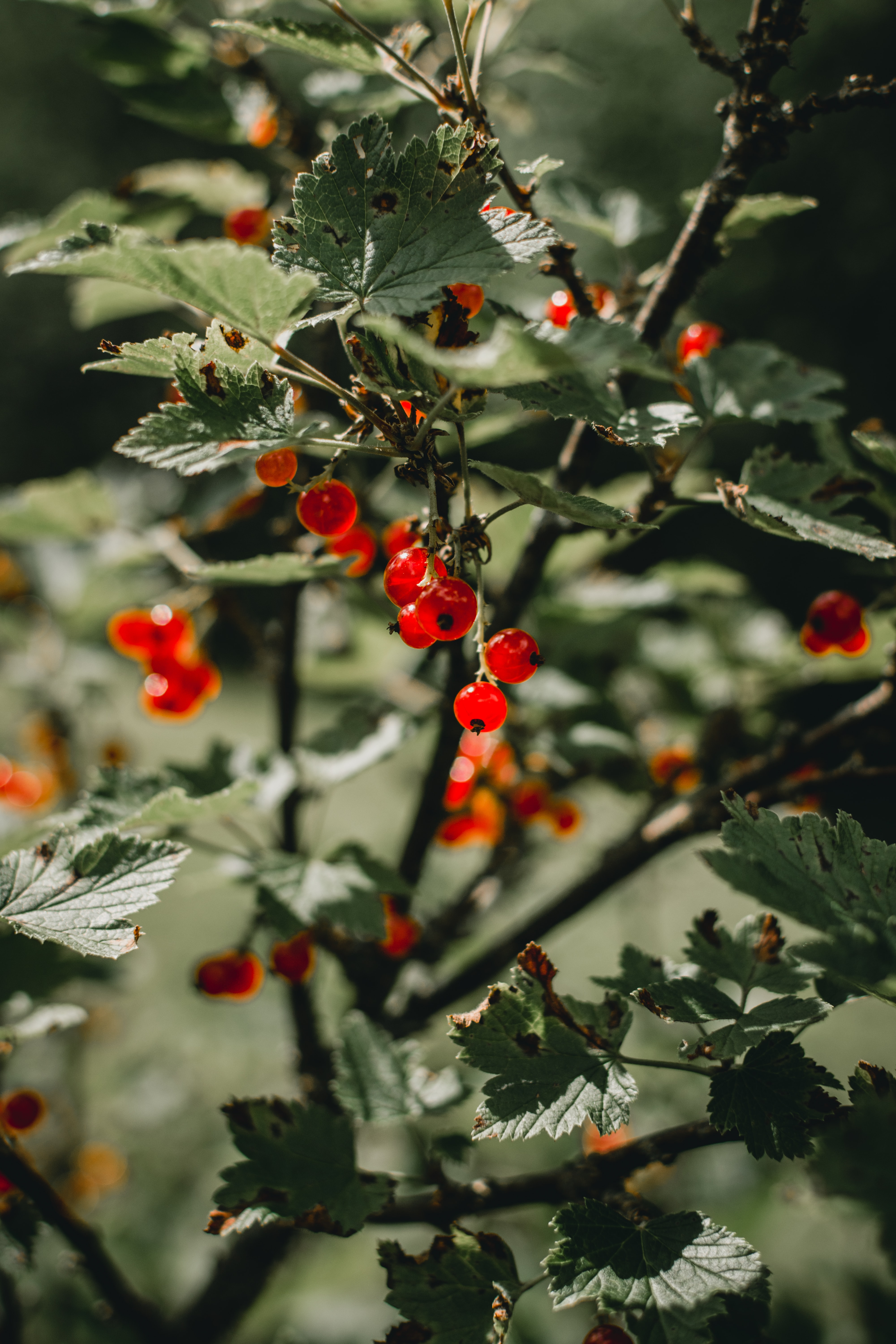 redcurrants growing on a bush