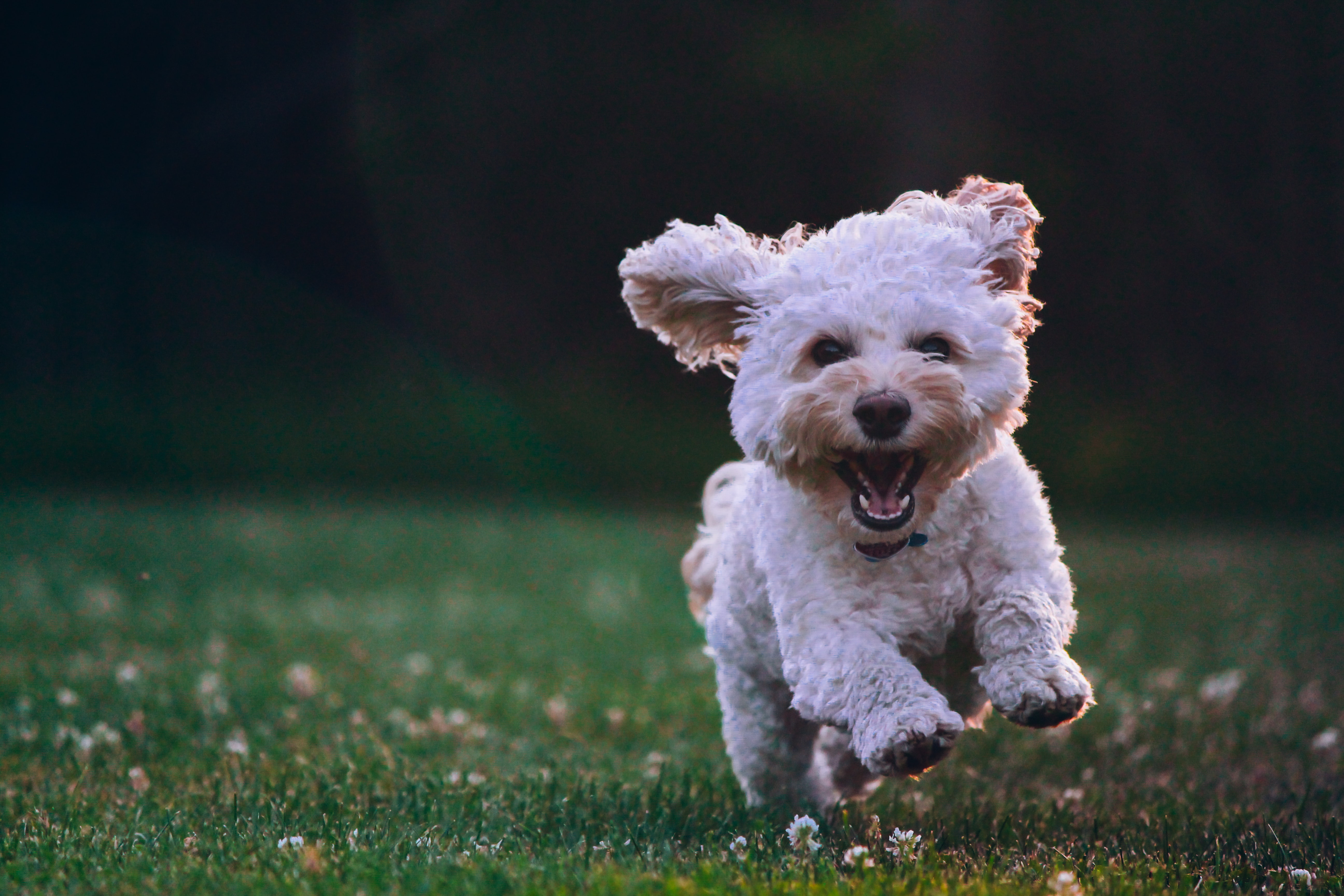 white dog bounding across a field