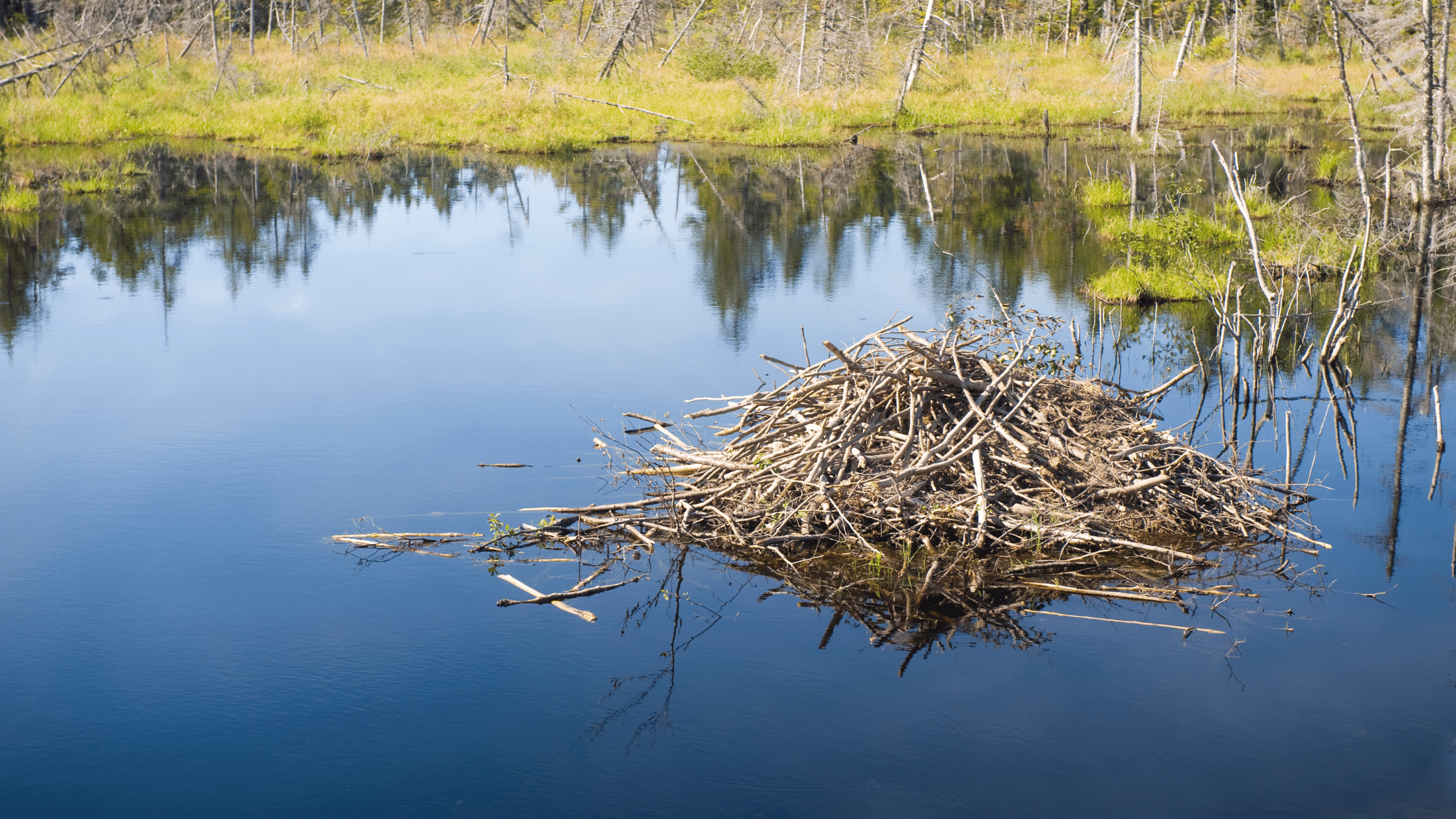 A beaver lodge in the middle of a pond, surrounded by grassland