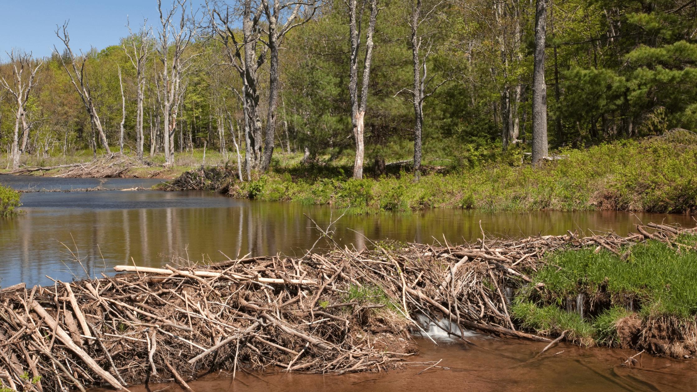 A beavers' dam across a lake