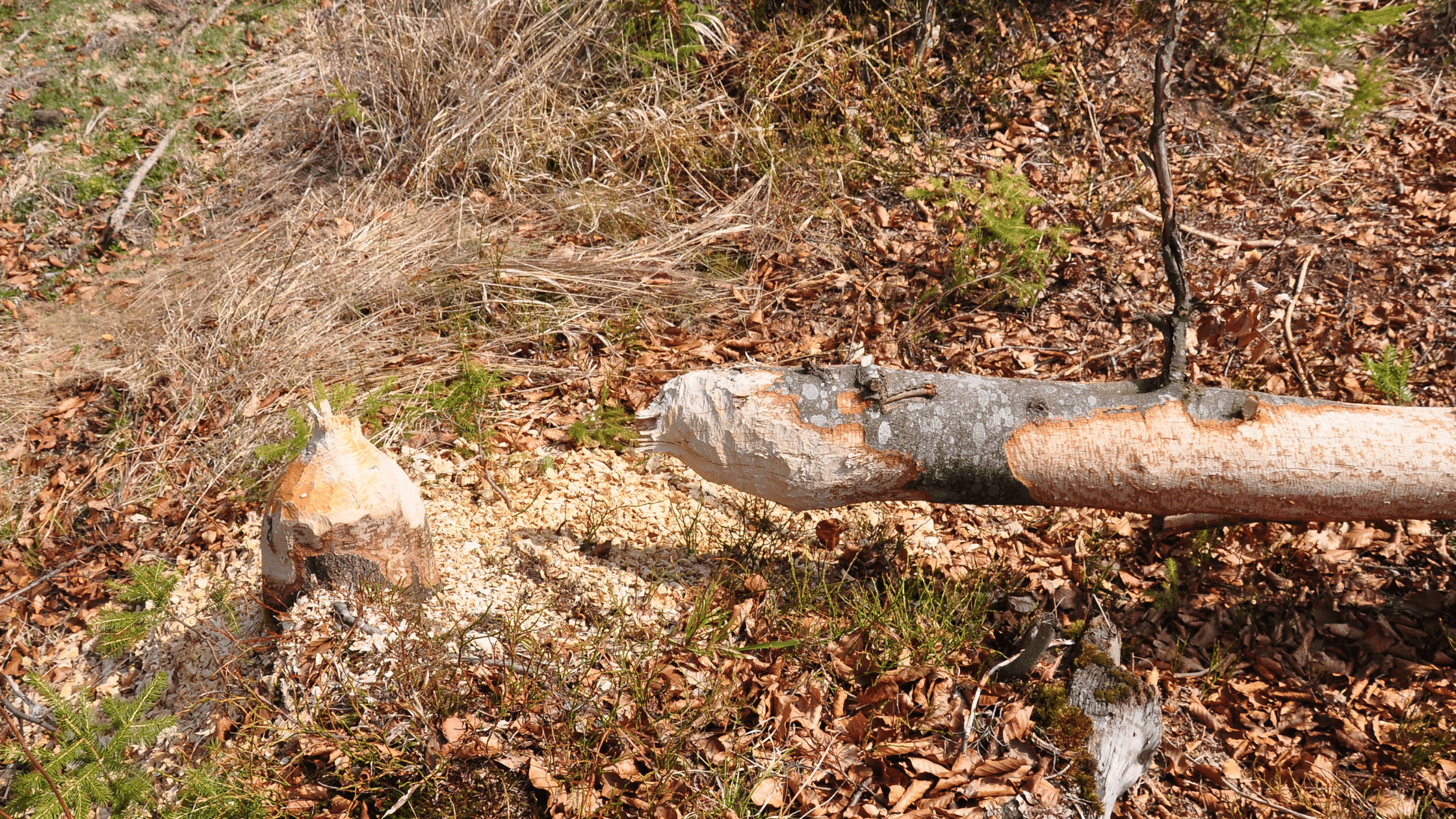 A beaver-felled tree and what will become the deadwood habitat