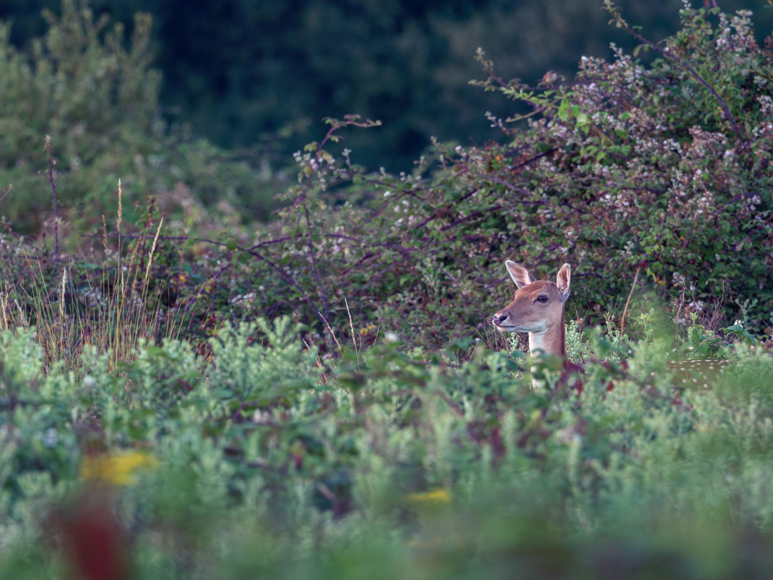 red deer peeking through undergrowth