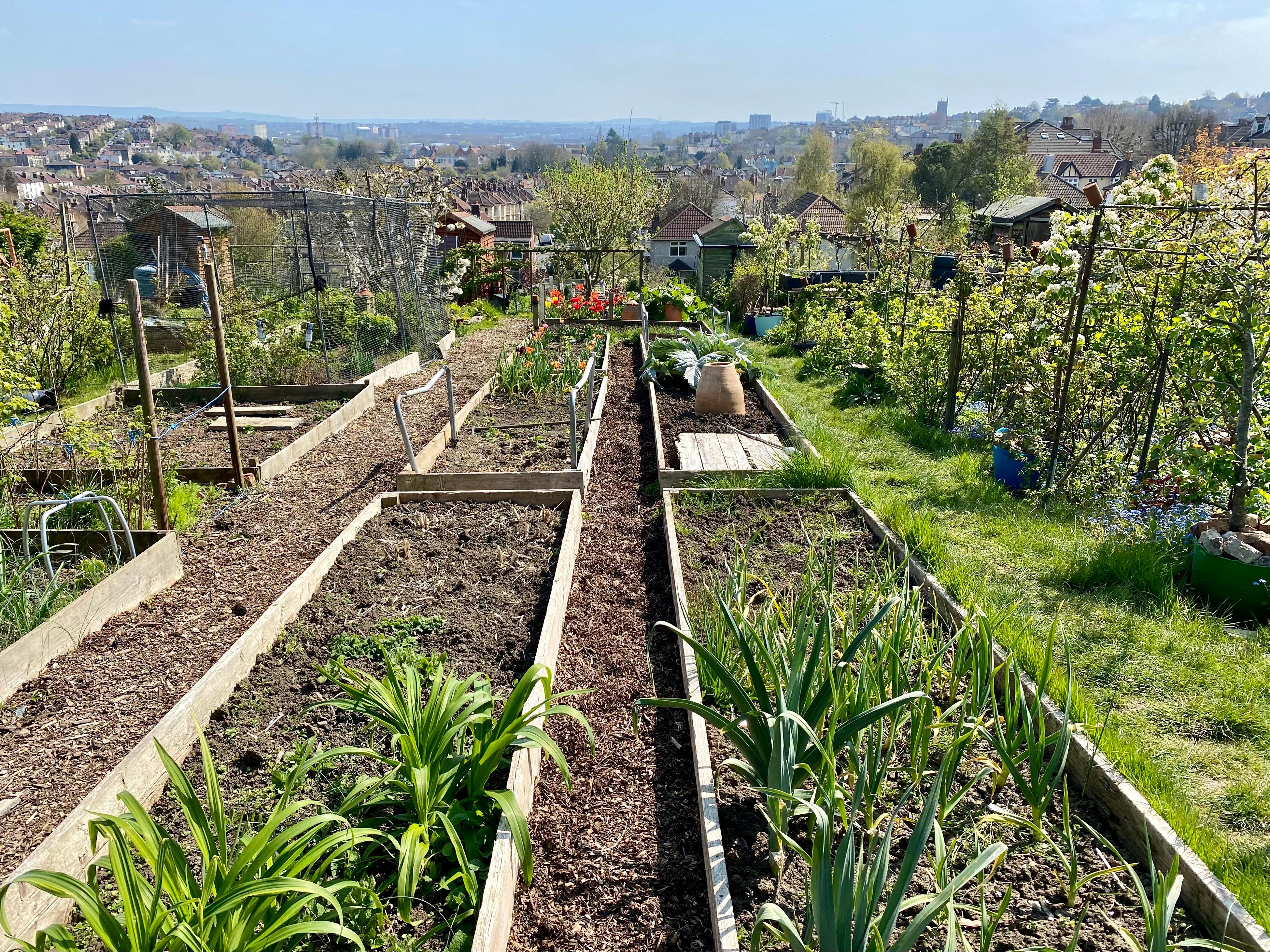 allotment gardening in the sunshine